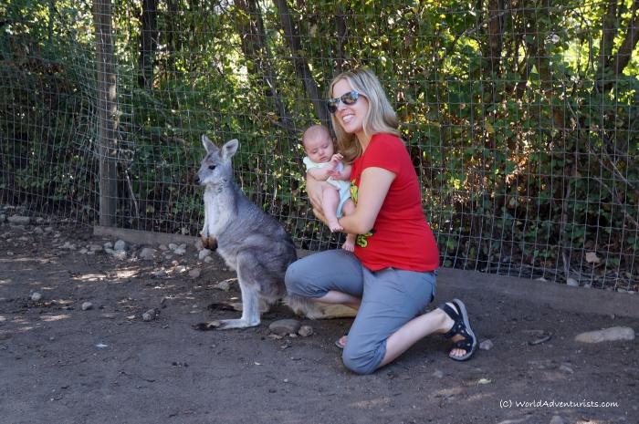 kangaroo11