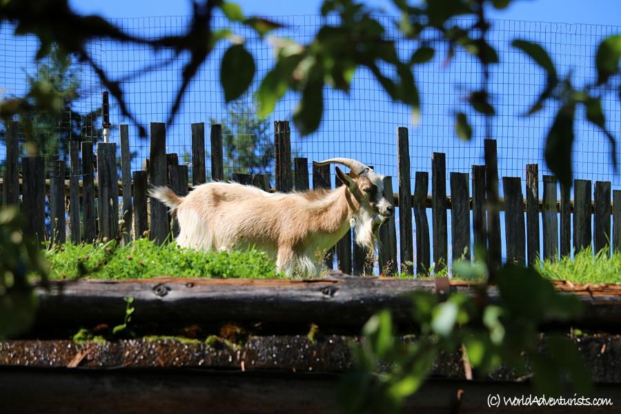 goatsontheroof4
