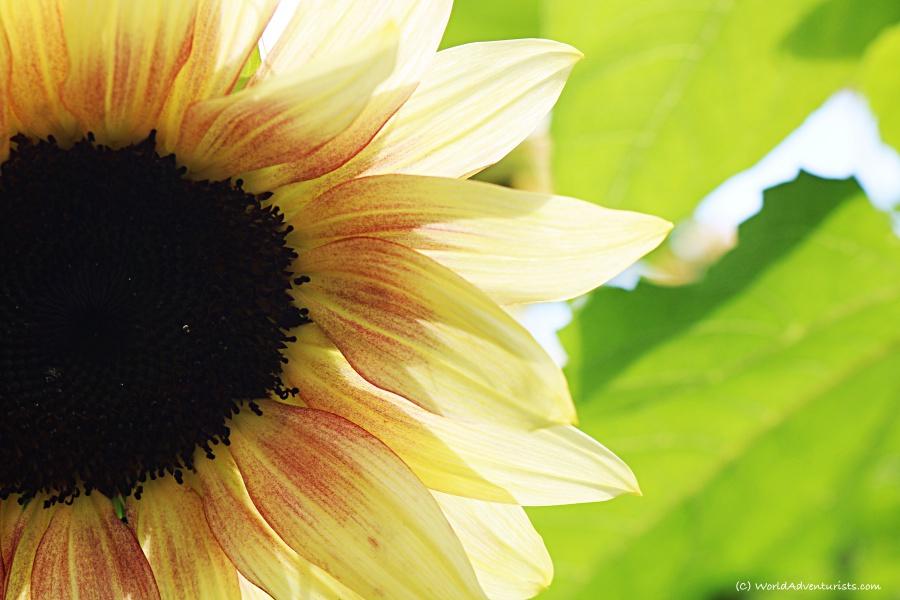 sunflowers011