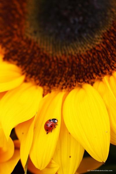 sunflowers018