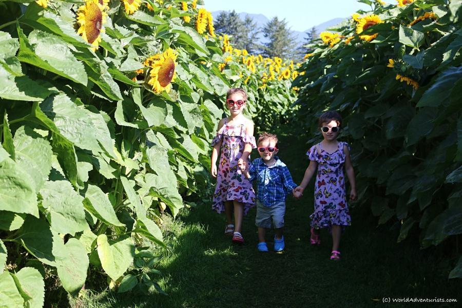 sunflowers11