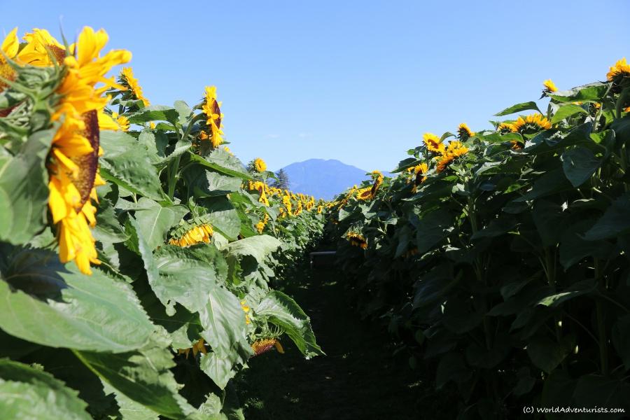 sunflowers13
