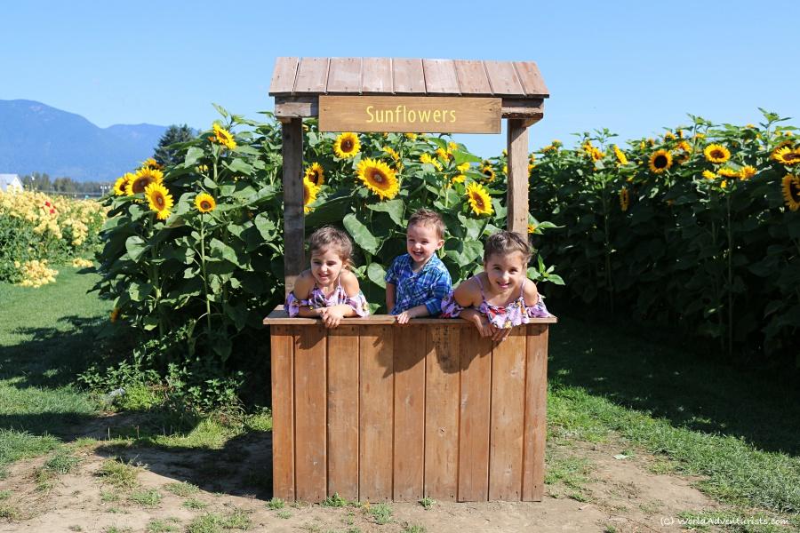 sunflowers17