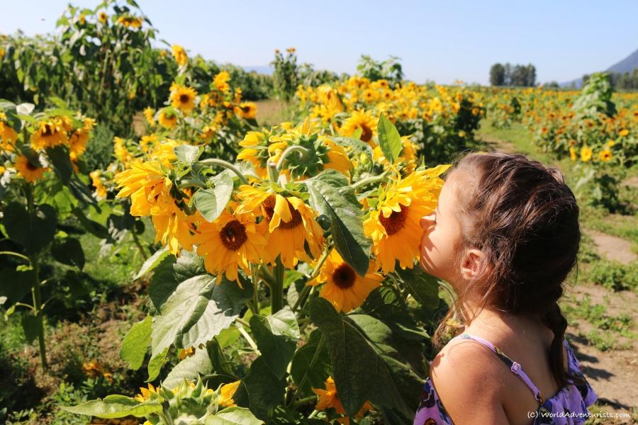 sunflowers29