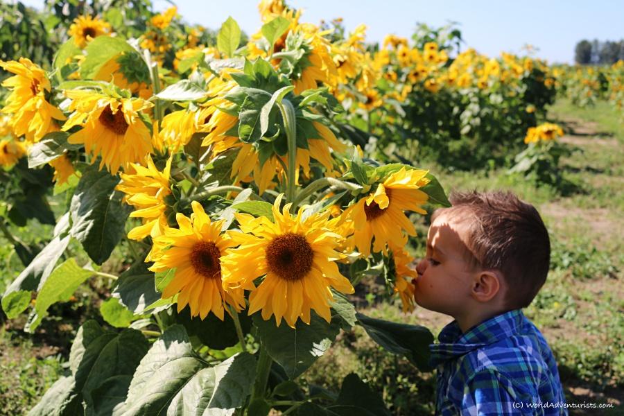 sunflowers30