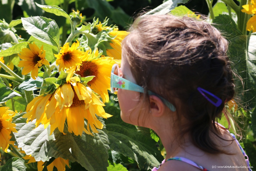 sunflowers31