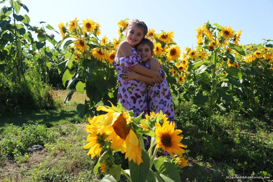 sunflowers32