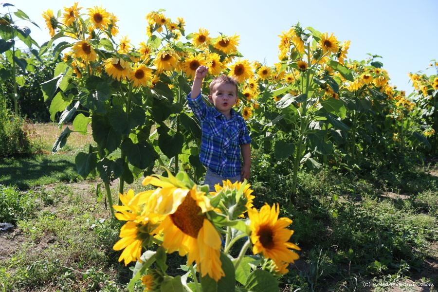 sunflowers33