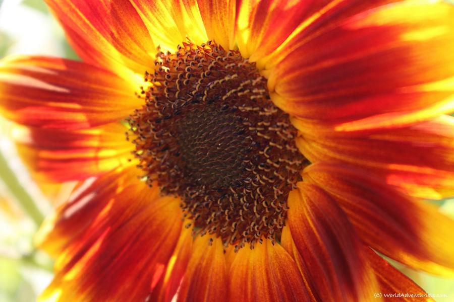 sunflowers35