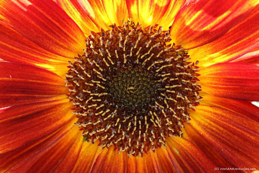 sunflowers36