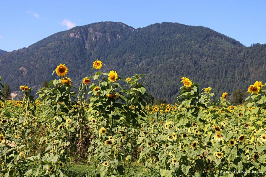 sunflowers37