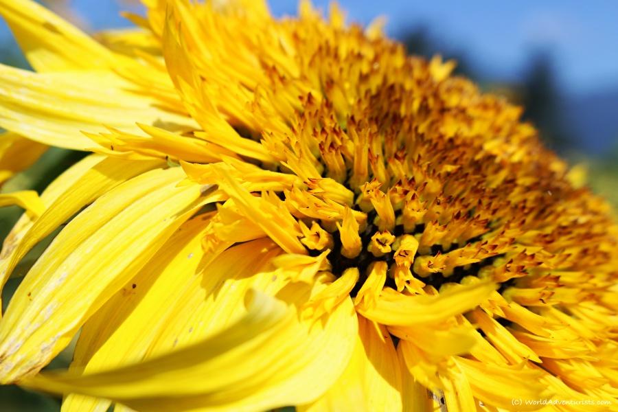sunflowers38