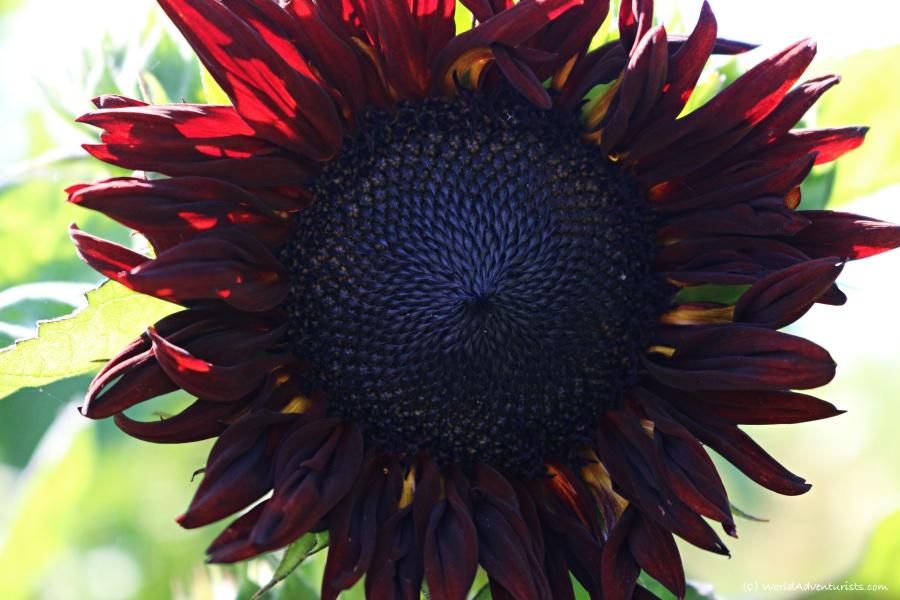 sunflowers39