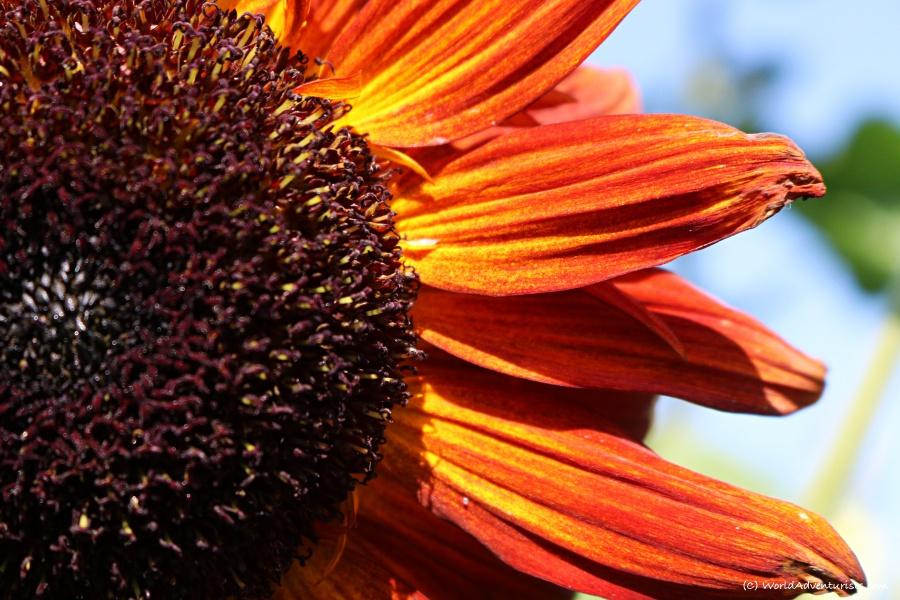 sunflowers40