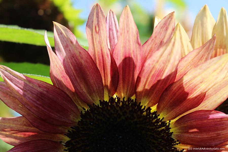 sunflowers45