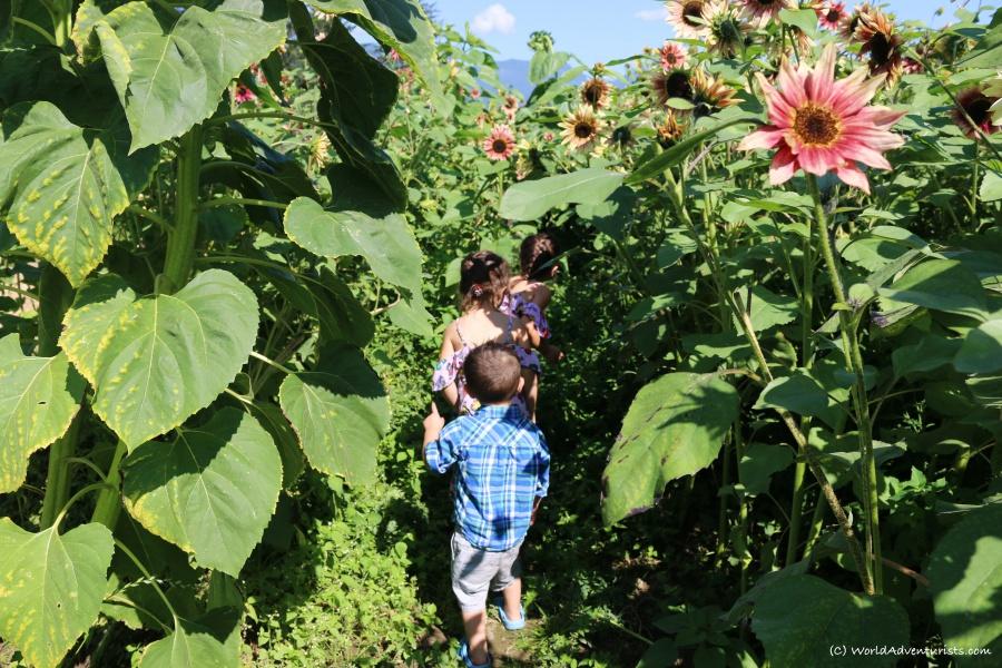 sunflowers46