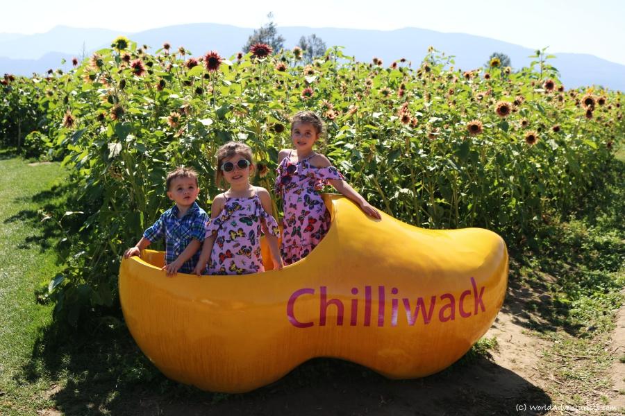 sunflowers47