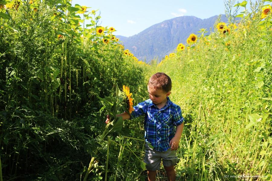 sunflowers52