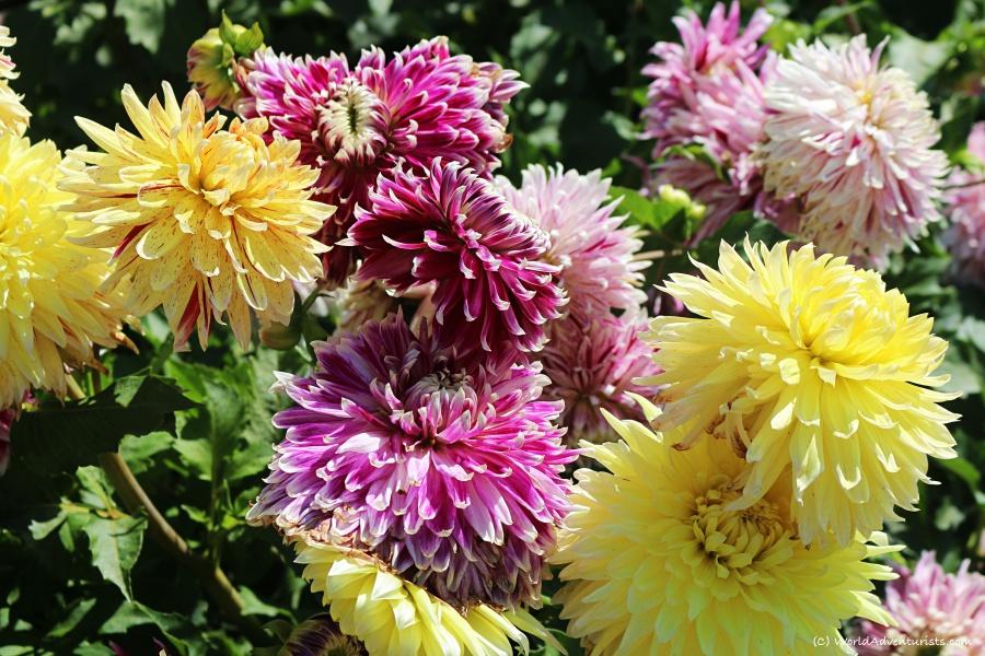 sunflowers56