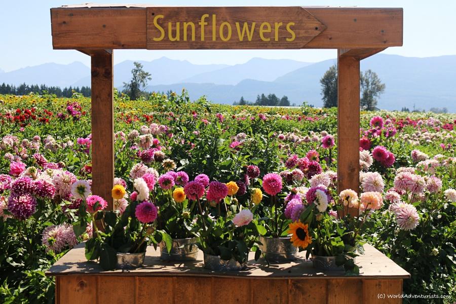 sunflowers57