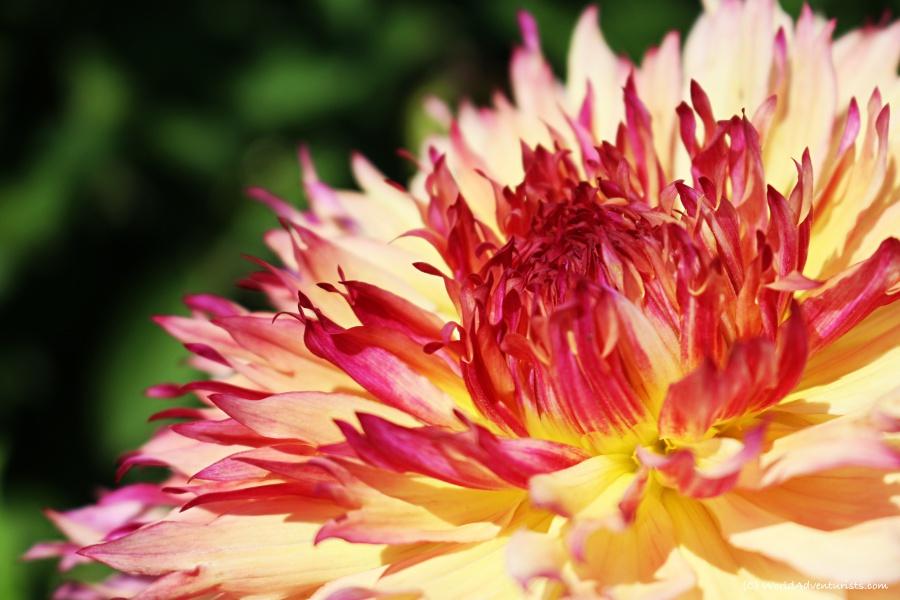 sunflowers71