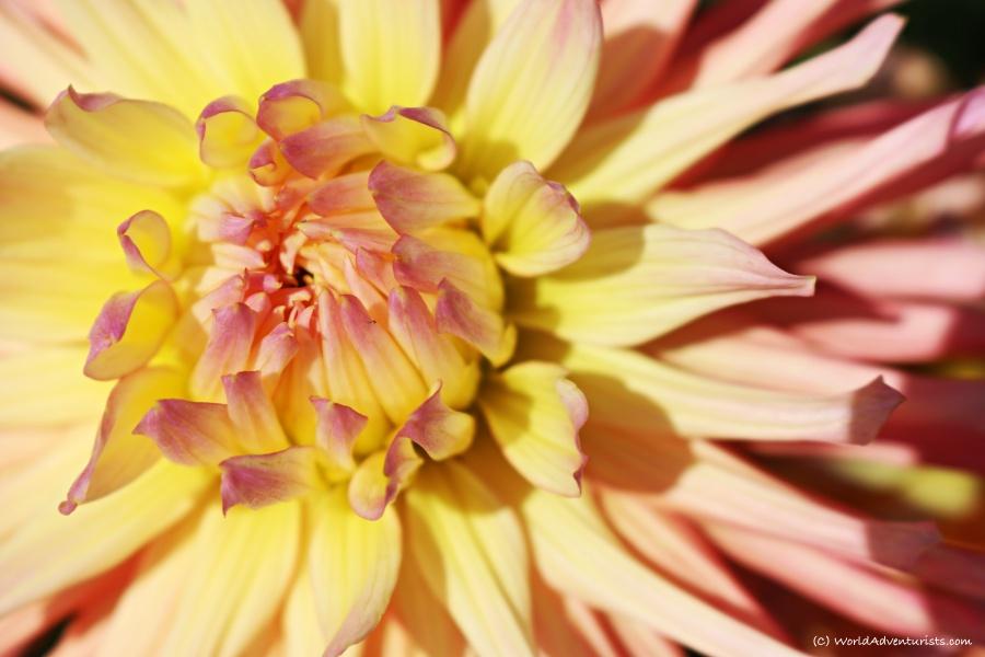 sunflowers72