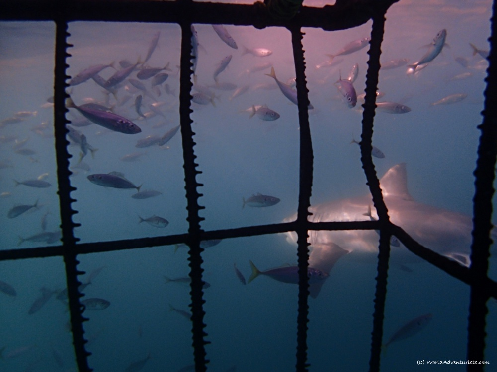Shark Alley cage diving with sharks