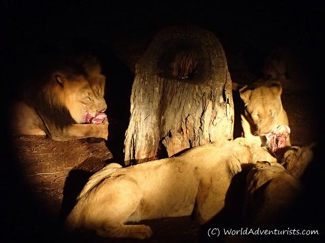 lionpark3