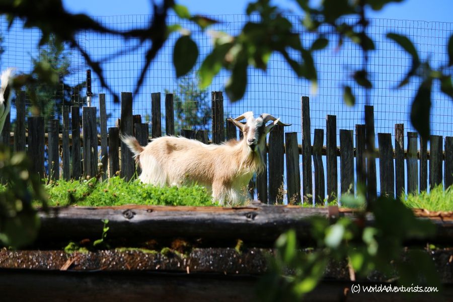 goatsonroofcoombs