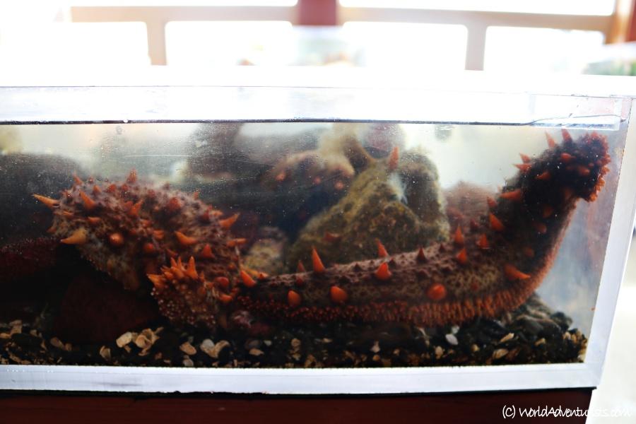 Sea cucumber at the aquarium