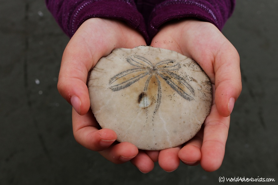 Kid holding a sand dollar