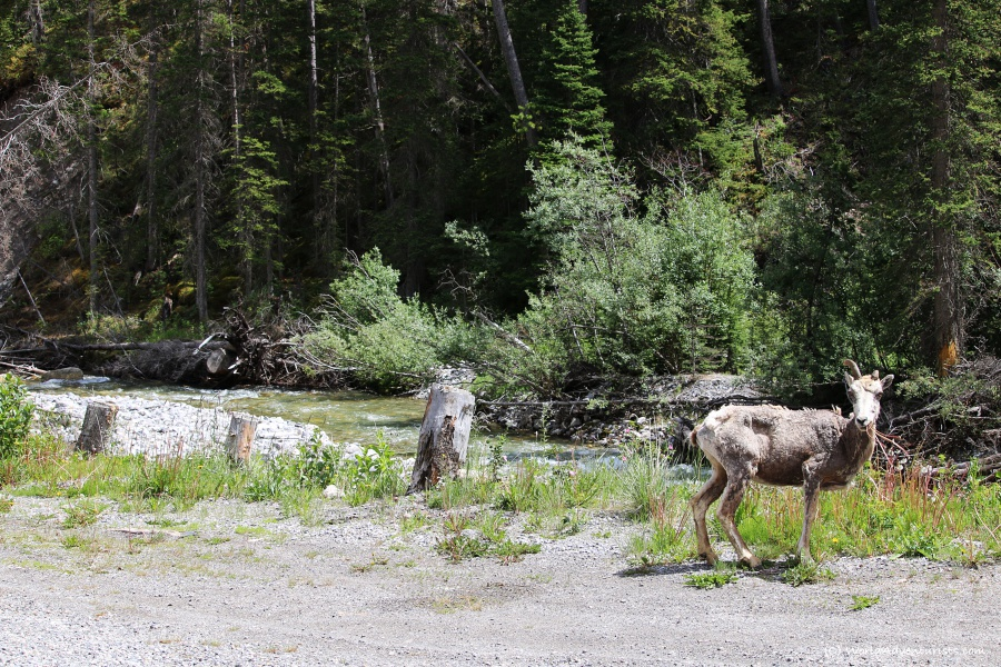 Deer in Banff