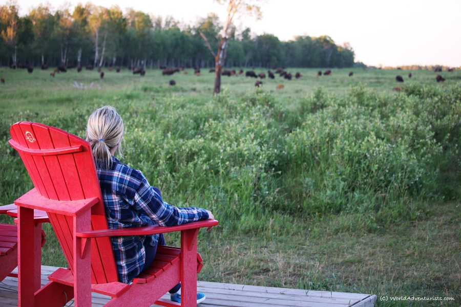 Elk Island National Park - Bison