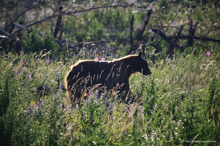 Waterton Lakes National Park - Bear