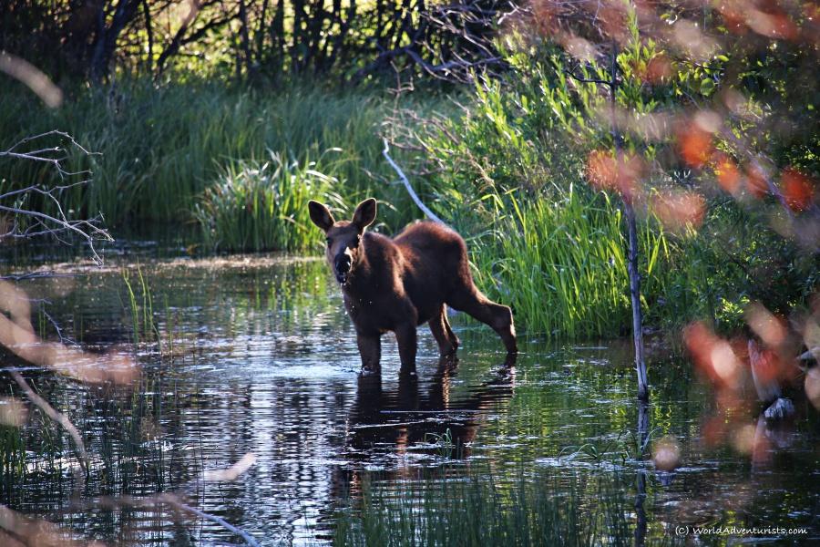 Waterton Lakes National Park - Moose