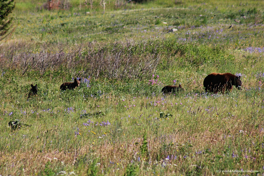 Waterton Lakes National Park - Bears