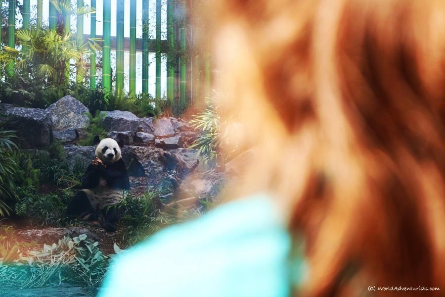 Calgary Zoo - Panda