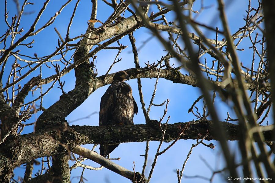 Bald Eagle Migration in Harrison Mills