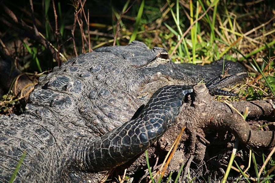 Gator during Everglades Airboat Ride