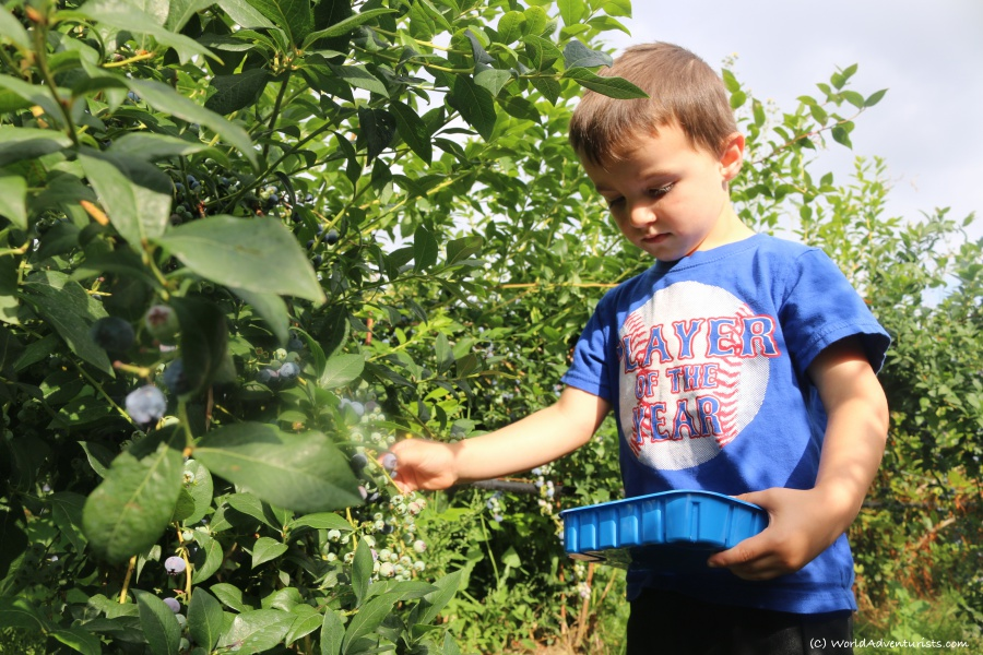 Little boy blueberry picking