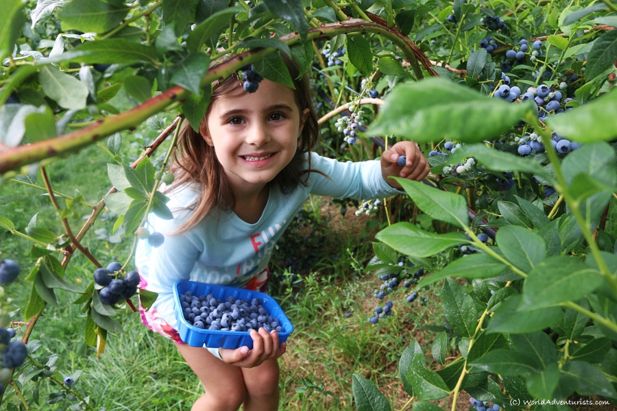 Young girl Picking Fresh BC Blueberries