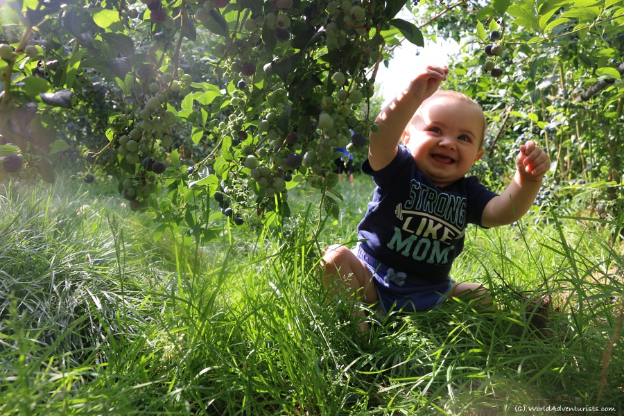 Baby blueberry picking