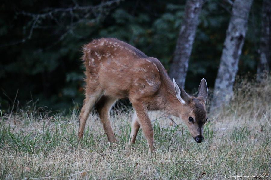 Baby deer on Galiano Island