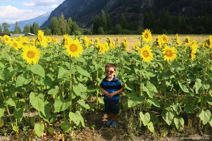 Little boy in the Sunflowers at the Pemberton sunflower maze