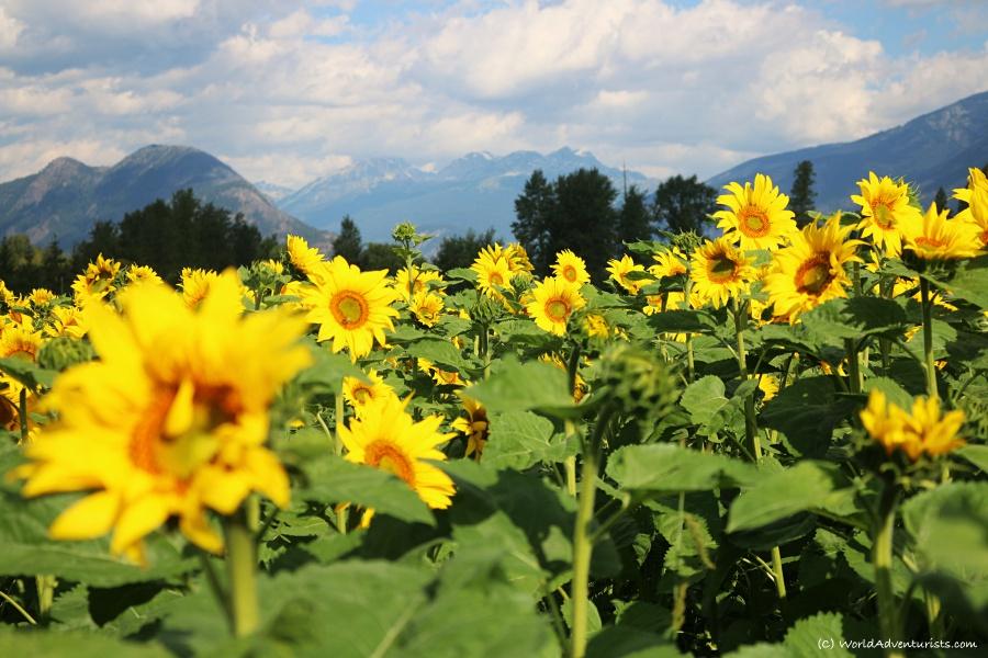 Sunflowers at the Pemberton sunflower maze