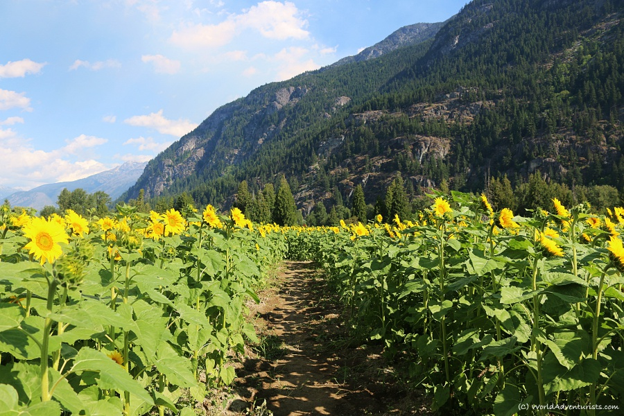 Sunflowers and mountains at the Pemberton sunflower maze