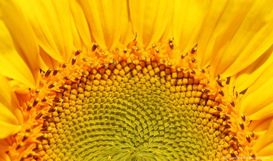 Sunflower at the Pemberton sunflower maze