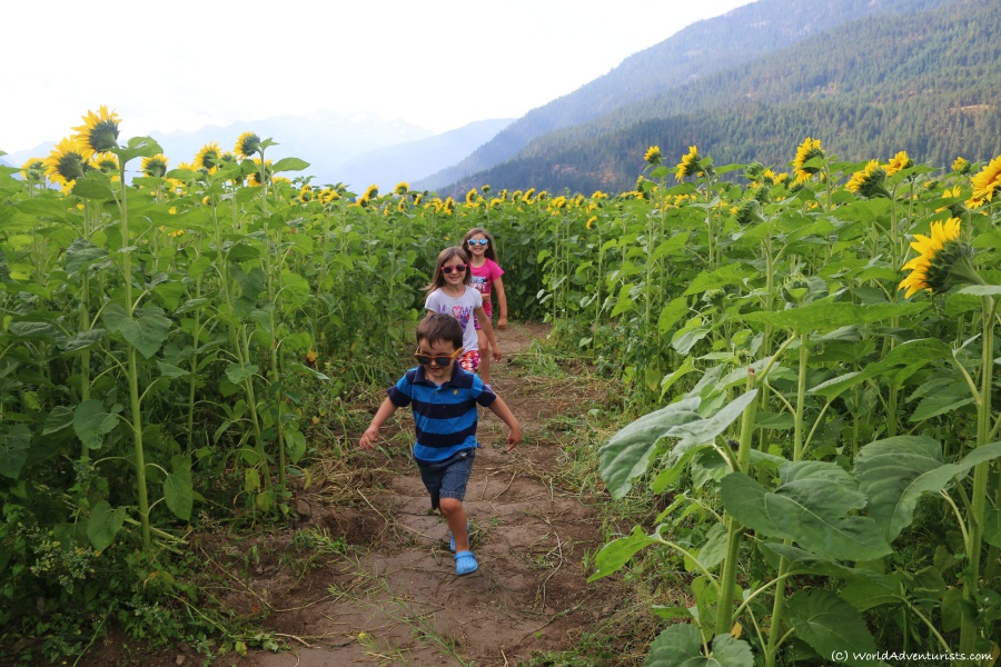 Kids in the Sunflowers at the Pemberton sunflower maze