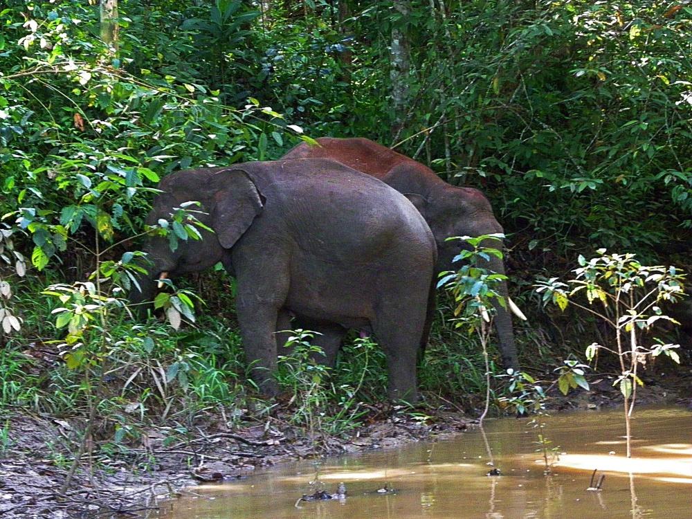 Elephants in Borneo