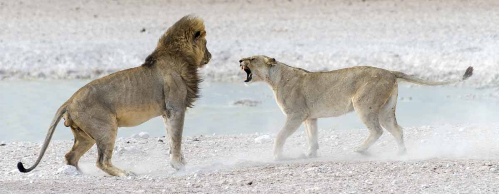 Lions after mating in Namibia